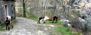 Ruta del Cares. Cabras