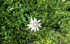 Ordesa. Edelweiss