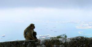 Gibraltar. Monos.