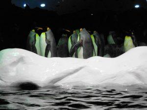 Tenerife. Puerto de la Cruz. Loro Parque. Pingüinos